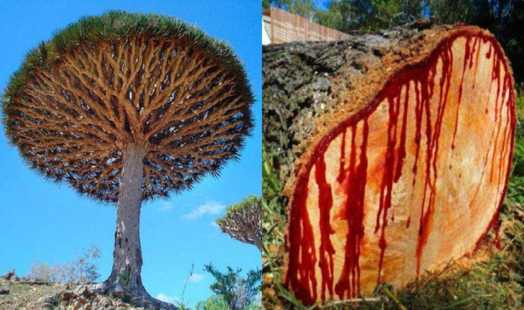 harga tanaman hias dragon blood tree