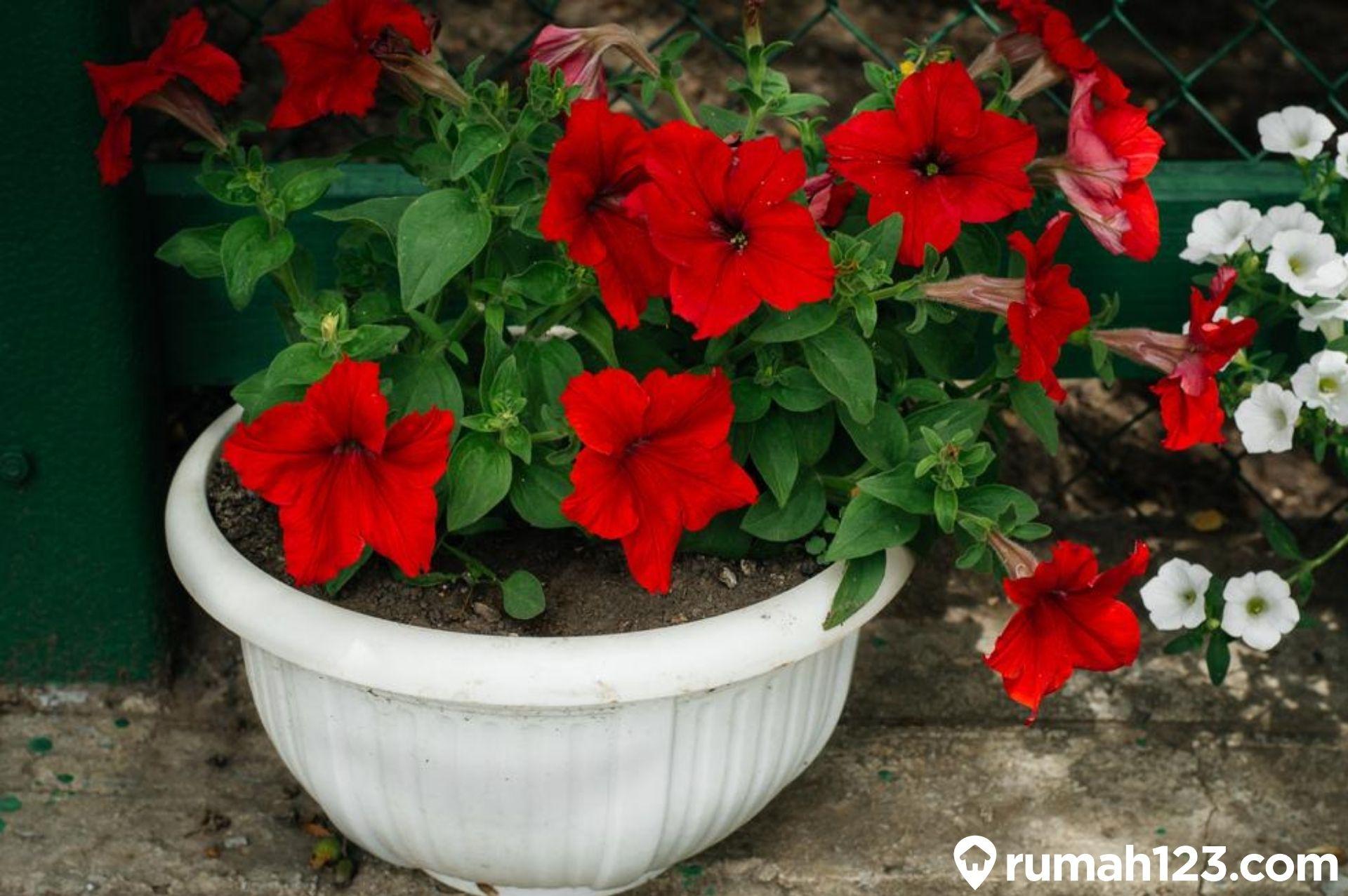 12 Tanaman Hias Bunga Ini Bisa Meningkatkan Estetika Halaman Rumah Rumah123 Com