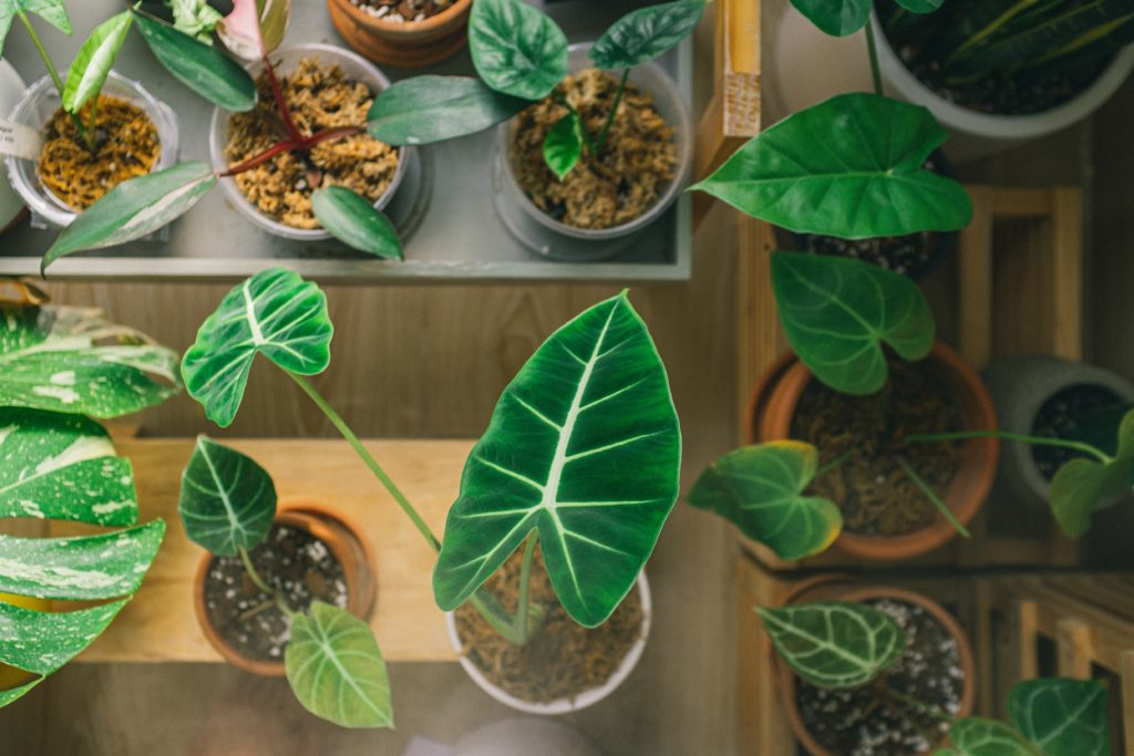 tanaman kuping gajah