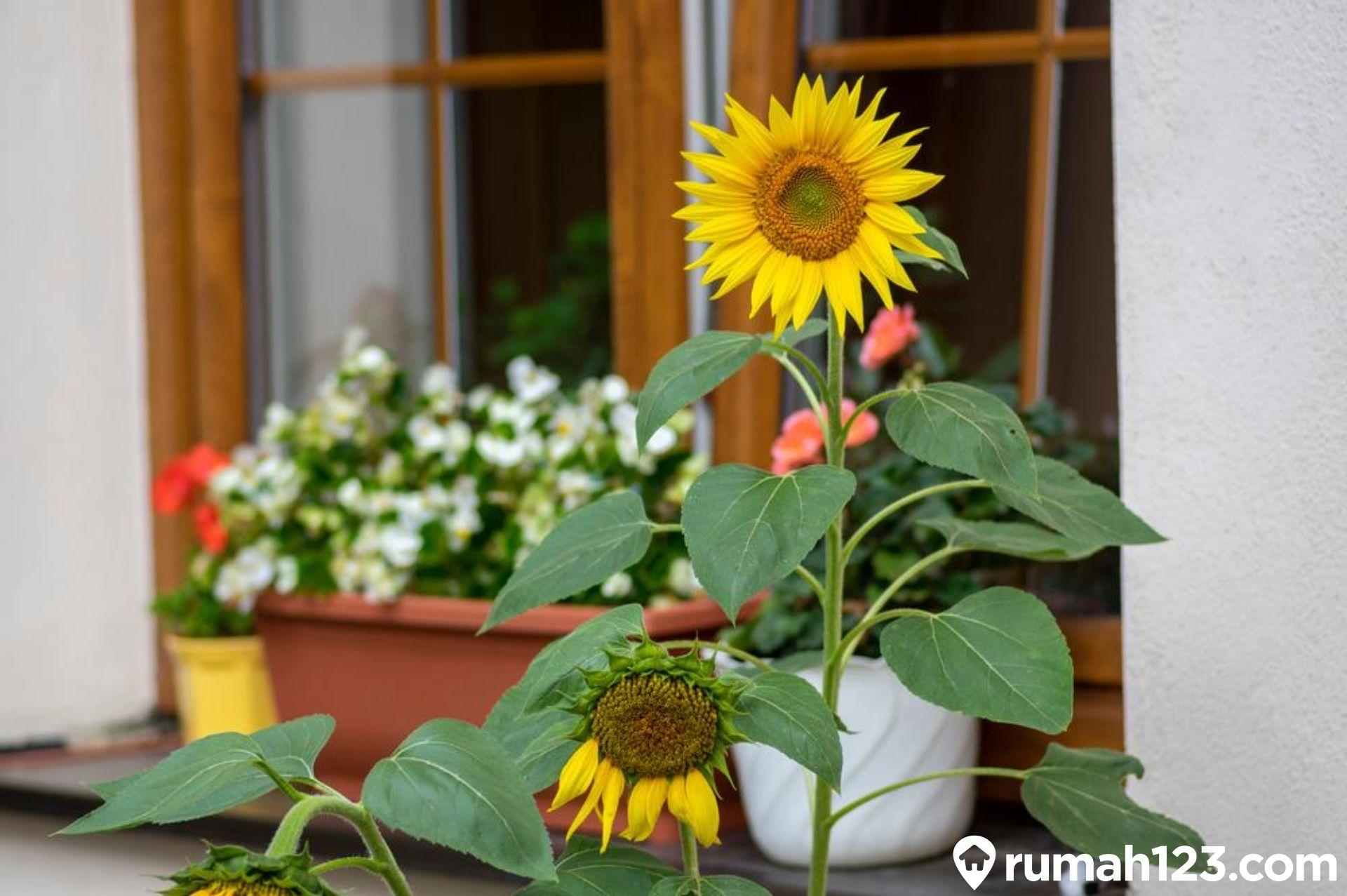 Cara Menanam Bunga Matahari Dengan Mudah Sekali Panen Untung Berlipat Rumah123 Com