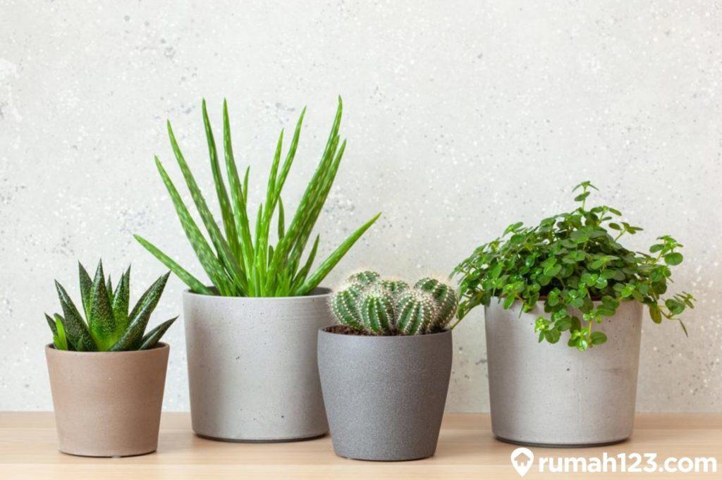 tanaman sukulen