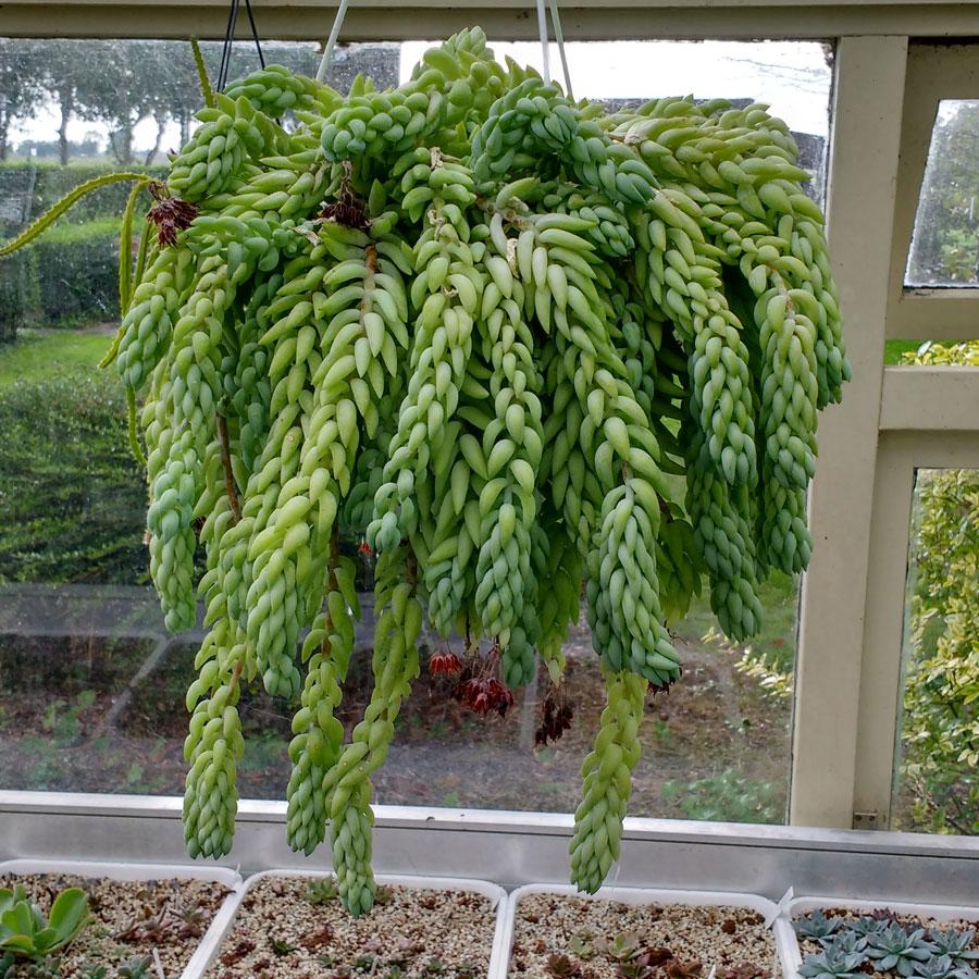 tanaman hias gantung sedum morganianum