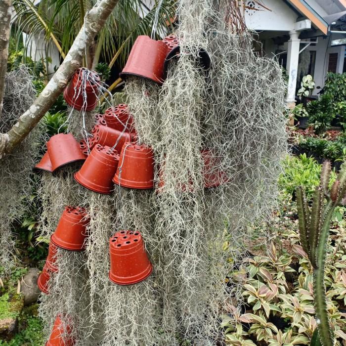 tanaman hias gantung spanish moss