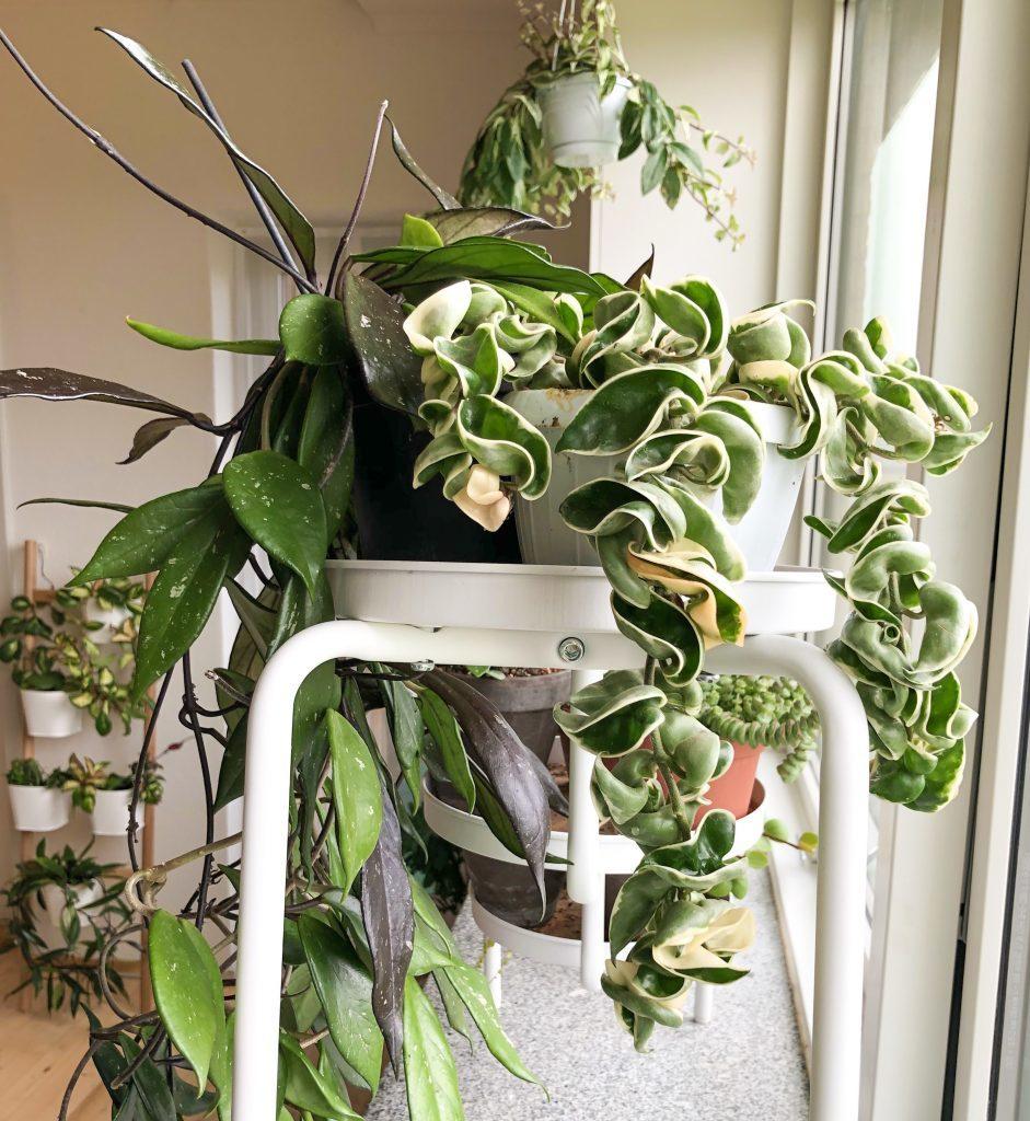 tanaman hias gantung carnosa compacta