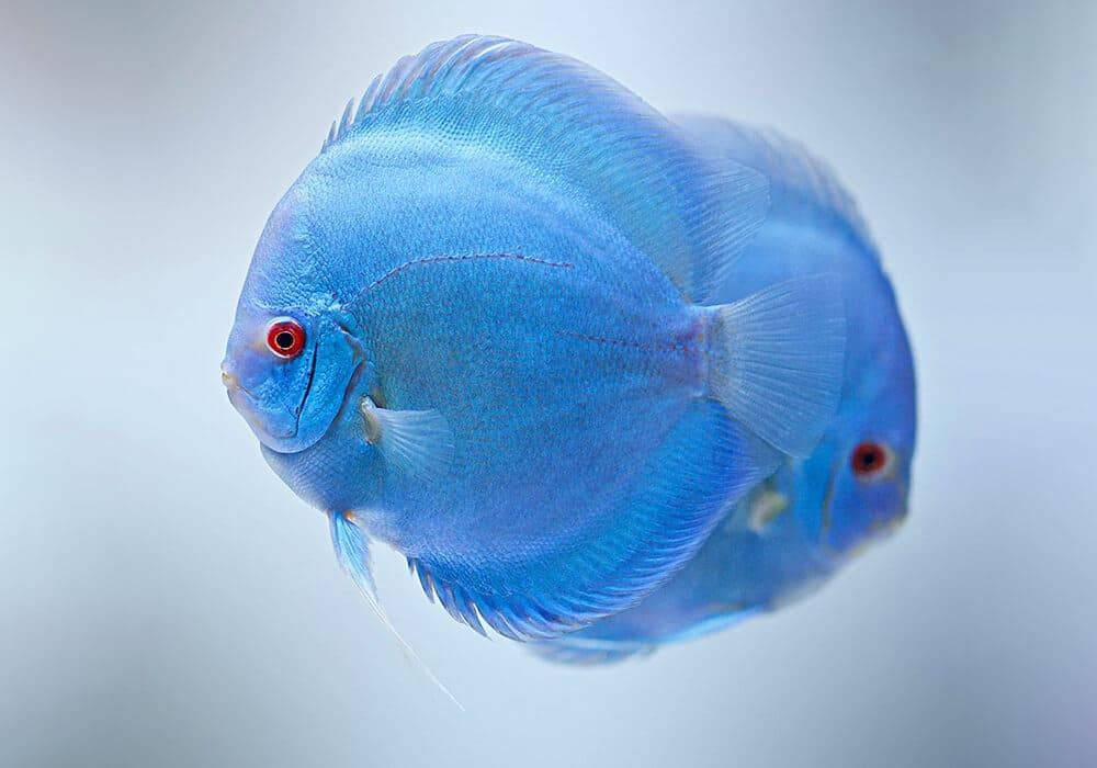 Jenis Ikan Discus Blue_2
