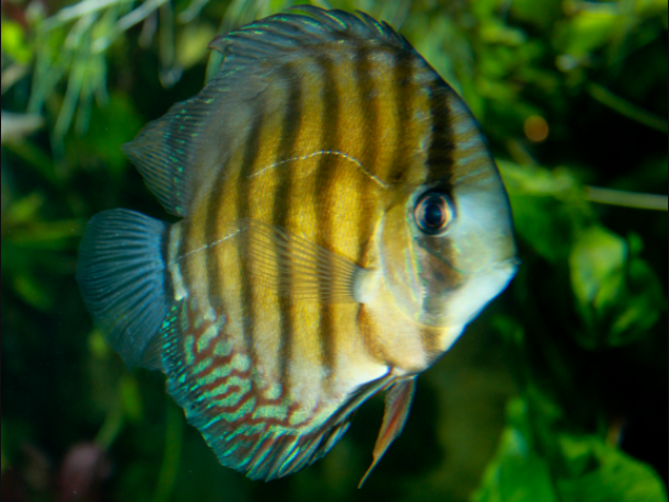 Jenis Ikan Discus_1