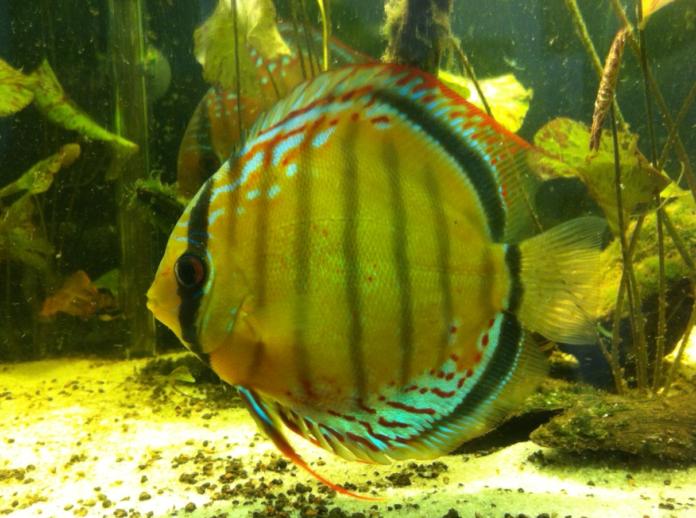 Jenis Ikan Discus_3