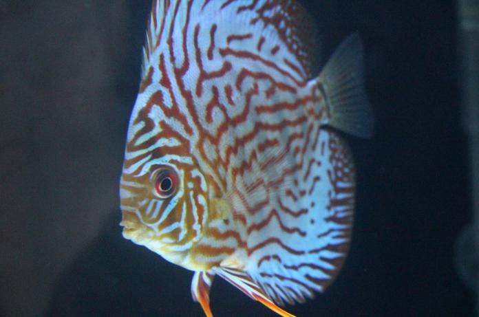 Jenis Ikan Discus_4