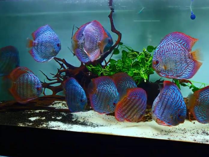 Jenis Ikan Discus_5