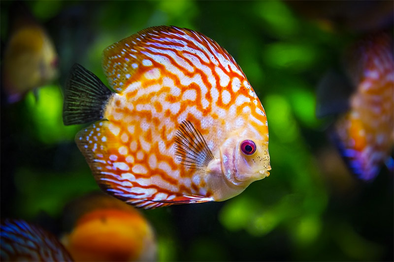 Ikan Discus Ikan Hias Unik Dengan Prospek Budidaya Yang Menjanjikan Simak Tipsnya Rumah123 Com