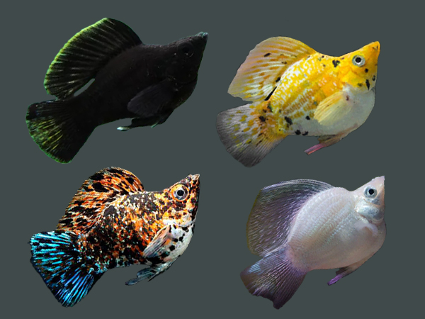 Cara Mudah Budidaya Ikan Molly Serta 13 Jenis Yang Paling Populer Rumah123 Com