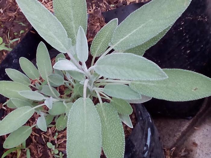 tanaman sage pengusir tikus