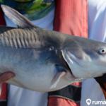 Cara Budidaya Ikan Patin di Rumah, Siap Untuk Jadi Jutawan?