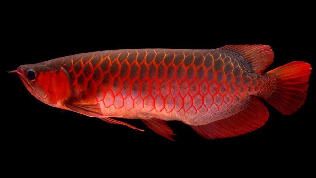 ikan predator arwana