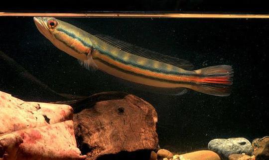 ikan predator snakehead