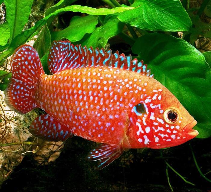 ikan predator Jewel Cichlid