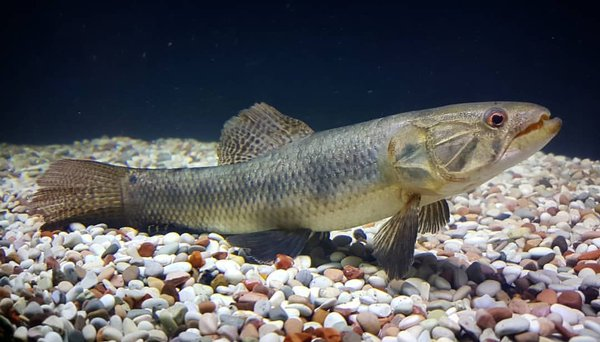 ikan wolfish ikan predator
