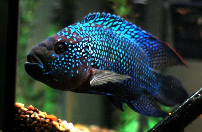 ikan predator Jack Dempsey