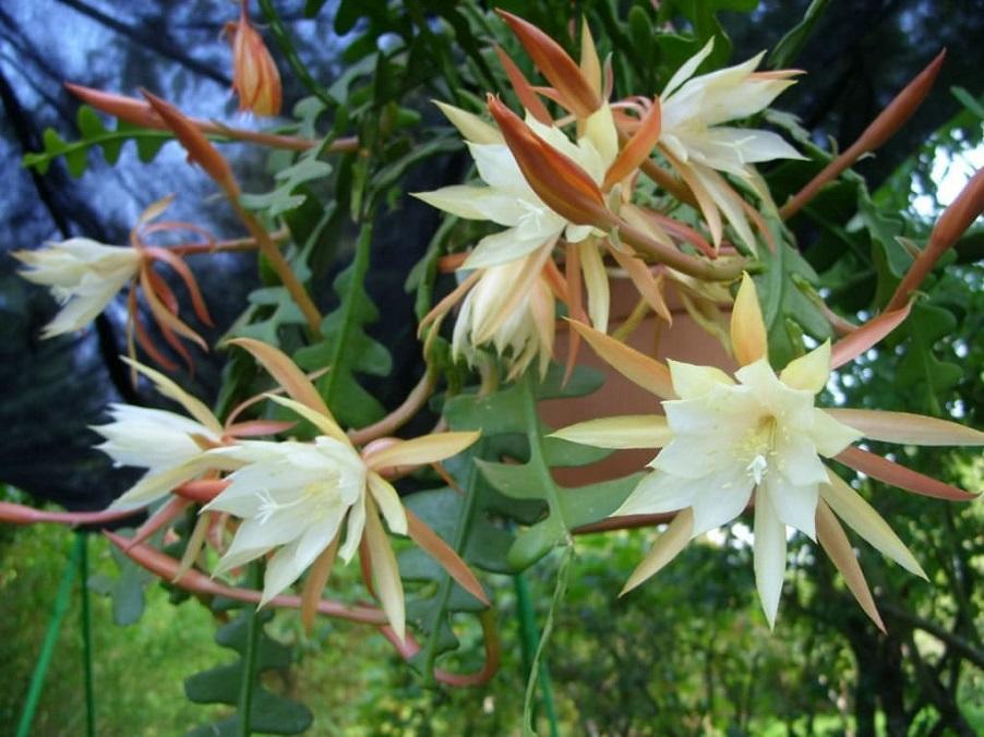 cara menanam bunga wijaya kusuma