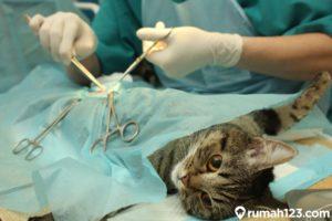 Syarat, Manfaat, dan Biaya Steril Kucing Jantan dan BetinaPeliharaan di Rumah, Bisa Gratis Lho!
