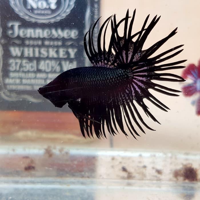 jenis jenis ikan cupang crowntail