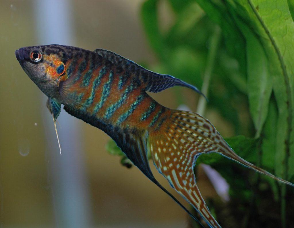 jenis jenis ikan cupang paradise