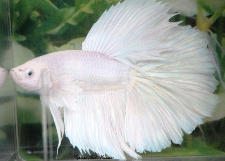 jenis jenis ikan cupang surga