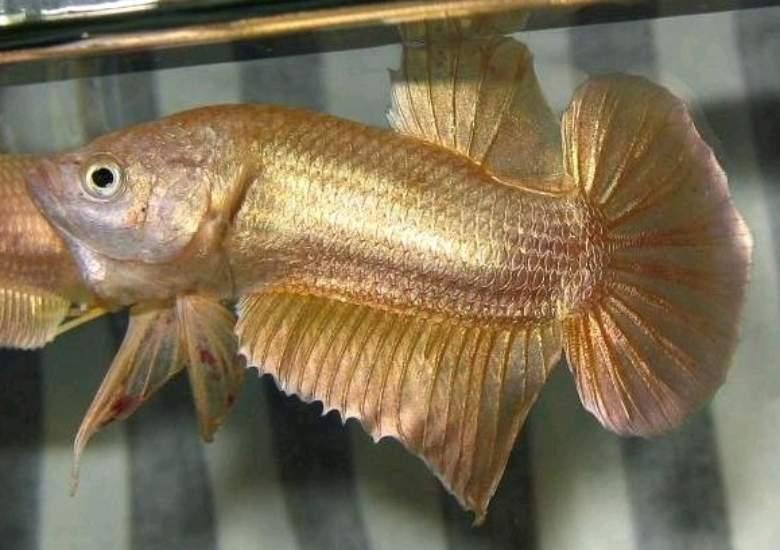 jenis jenis ikan cupang Emas