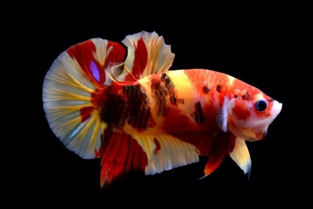 jenis jenis ikan cupang plakat