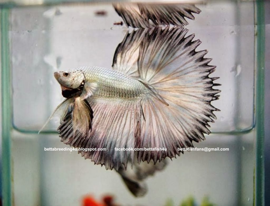 jenis jenis ikan cupang halfsun