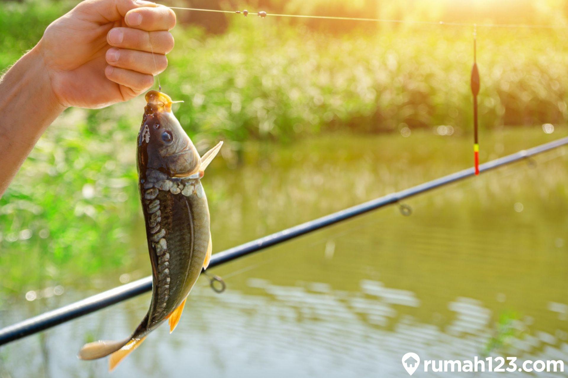 5 Umpan Ikan Mas Terbaik Bisa Racik Sendiri Gak Pake Mahal Rumah123 Com