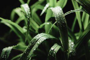 Manfaat Tanaman Serai Wangi | Bisa untuk Mengusir Nyamuk dan Anti Bakteri
