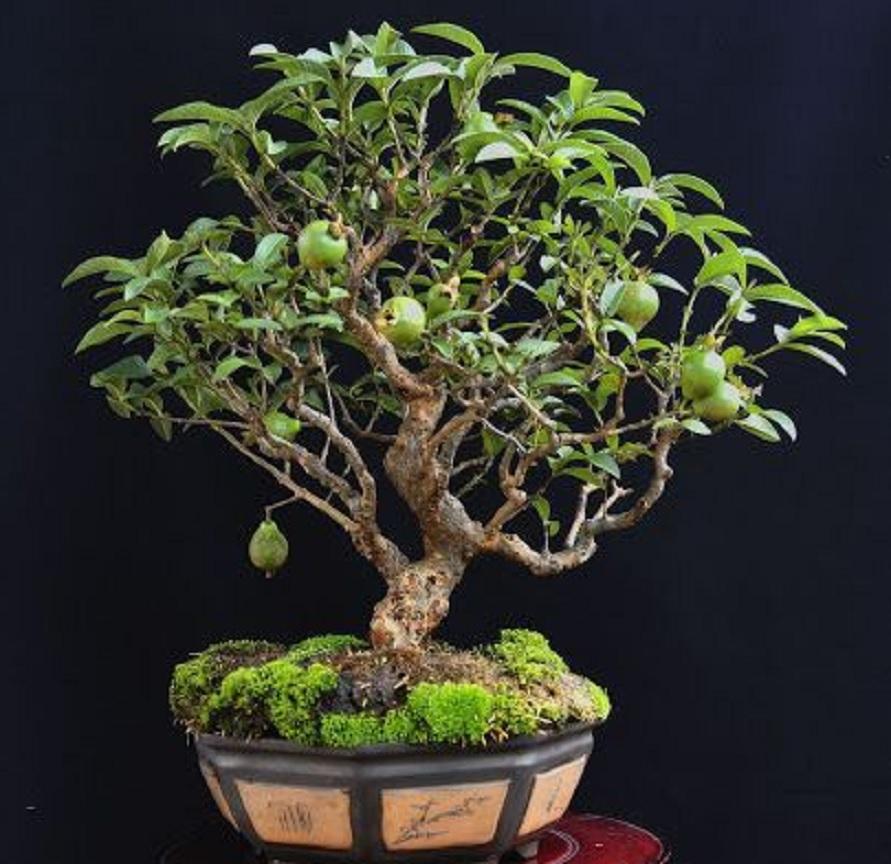 tanaman hias buah