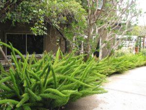 Manfaat Tanaman Ekor Tupai, Satu Marga dengan Asparagus yang Tidak Bisa Dimakan