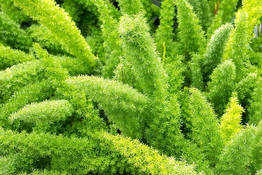 tanaman ekor tupai