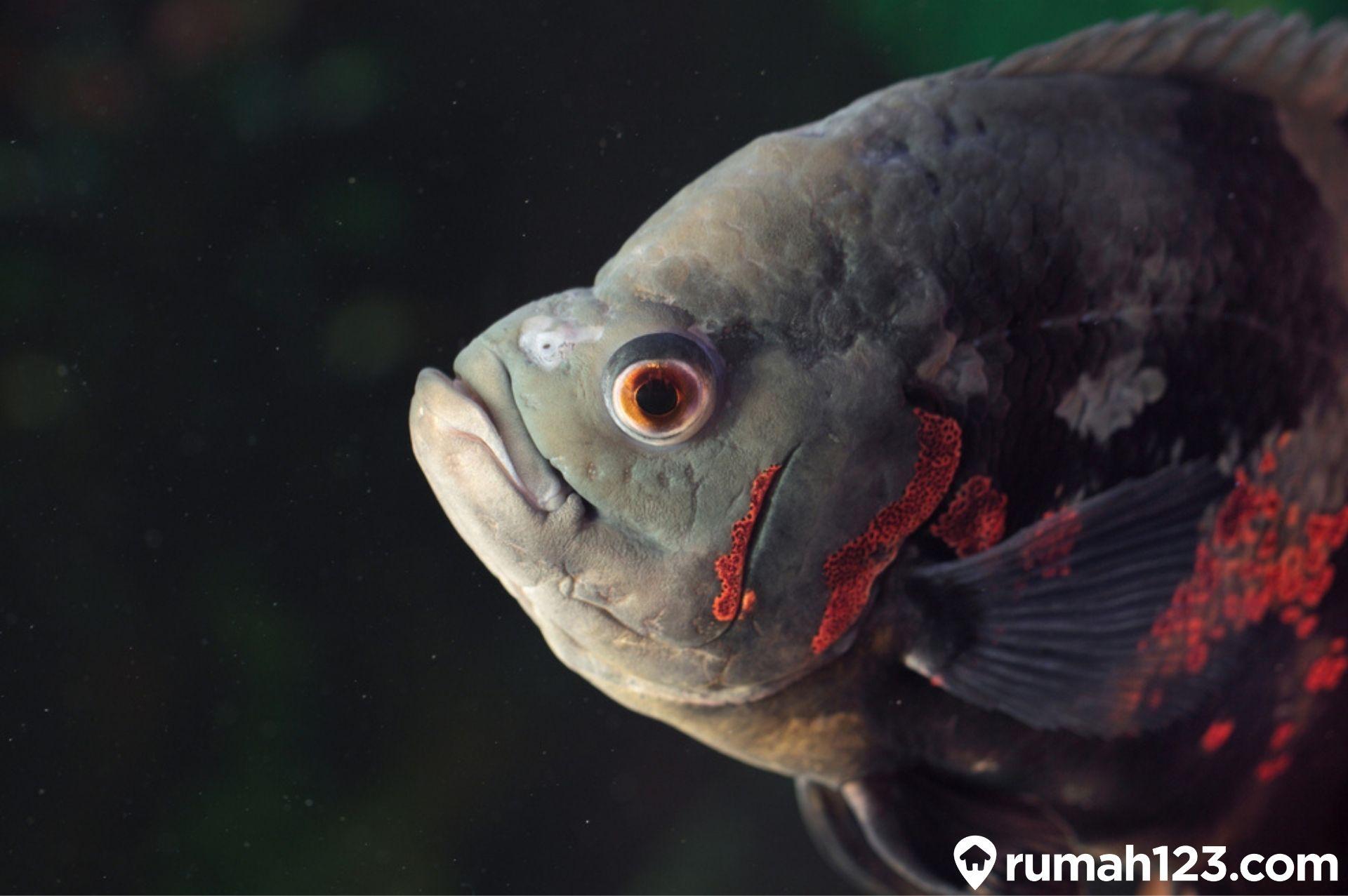 Mengenal 11 Jenis Ikan Oscar Ikan Predator Yang Bisa Dipelihara Di Rumah Rumah123 Com