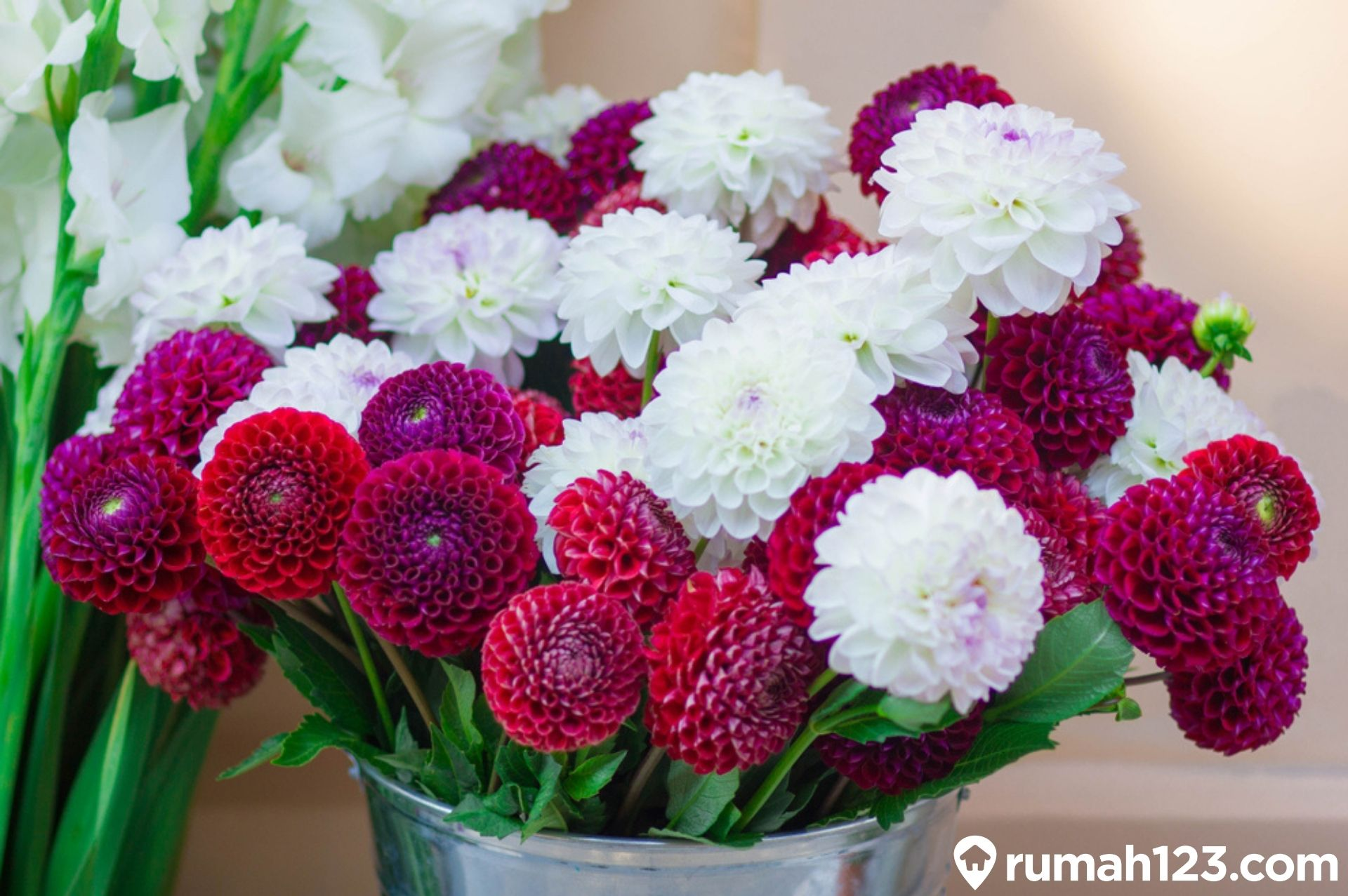 Panduan Lengkap Menanam Bunga Dahlia Dengan Mudah Di Rumah Rumah123 Com
