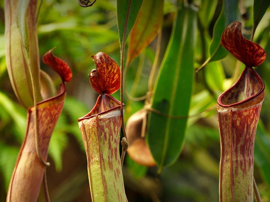 tanaman pemakan serangga