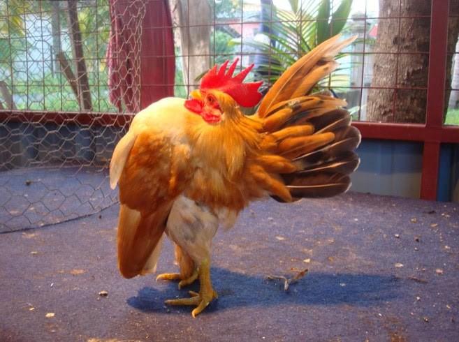 ayam hias serama