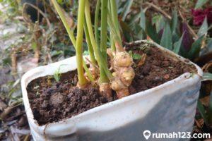 Tips Mudah Menanam Tanaman Jahe di Pot di Rumah