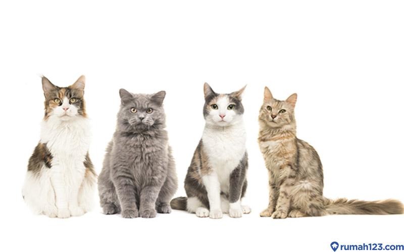 Kenali Jenis Kucing Anggora Dan Tips Sebelum Mengadopsinya Yuk Rumah123 Com