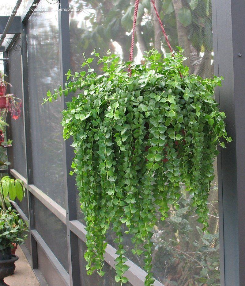 tanaman gantung indoor