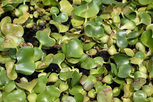 eceng gondok tanaman air