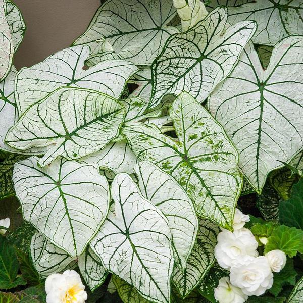 tanaman caladium