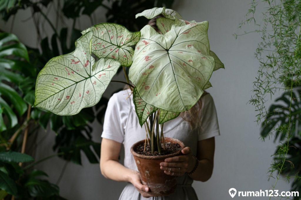 tanaman keladi
