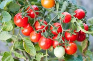 Mengenal Manfaat Tomat Ceri, Jenis, & Perbedaan dengan Tomat Biasa