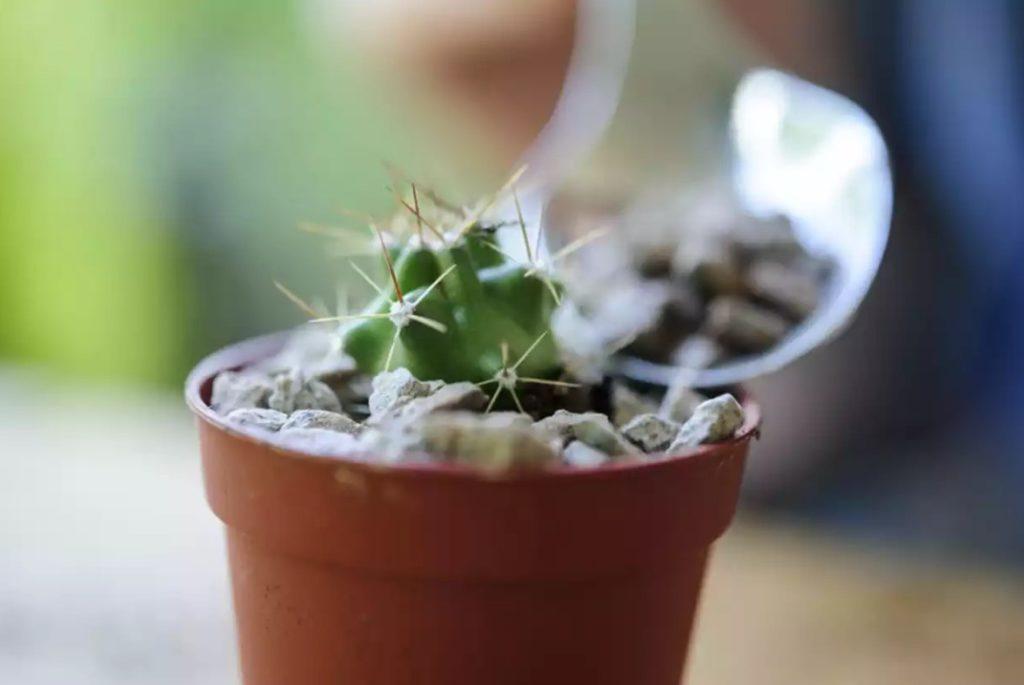 cara menanam kaktus