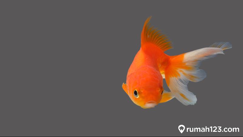 ikan mas koki berenang