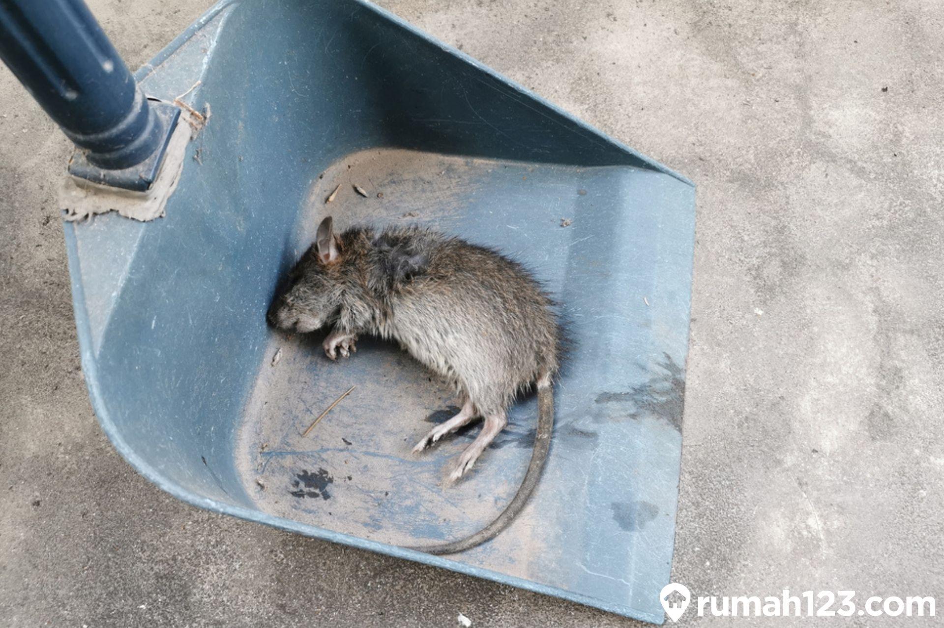 7 Cara Mudah Menghilangkau Bau Bangkai Tikus secara Instan di Rumah