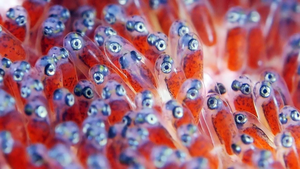 telur ikan badut